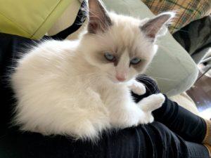 膝の上で落ち着く子猫